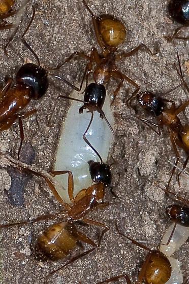 Ants on Family Farm (2) - Camponotus americanus