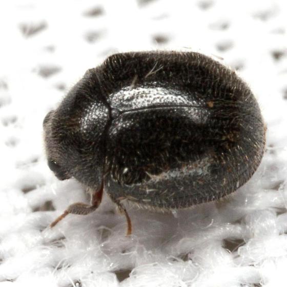 Puffball Beetle - Caenocara