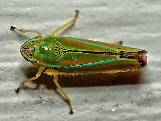 Graphocephala versuta? - Graphocephala versuta