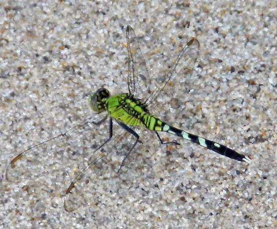 Green Dragonfly on the Beach - Erythemis simplicicollis - male