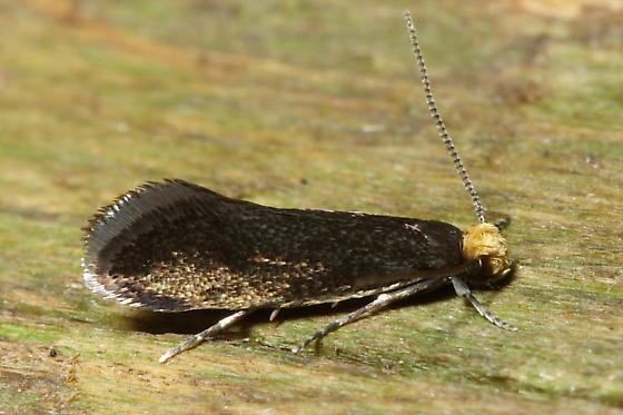 Tineid Moth - Doleromorpha porphyria