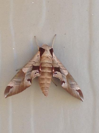 Moth found in CA - Eumorpha achemon