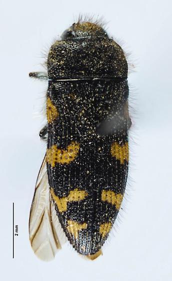 Acmaeoderini? - Acmaeodera idahoensis