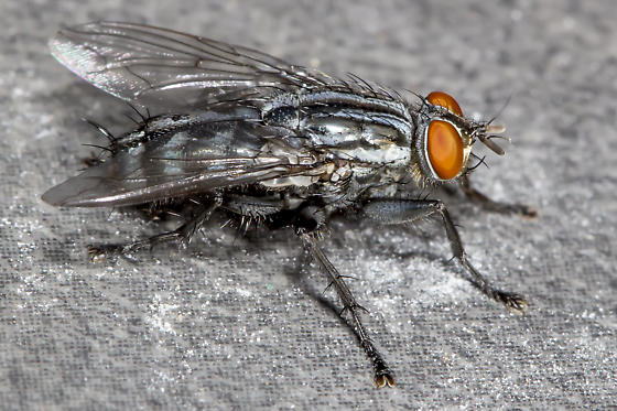 Which Diptera