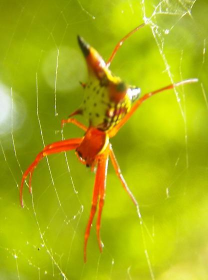 Spider 062716llnicutb - Micrathena sagittata