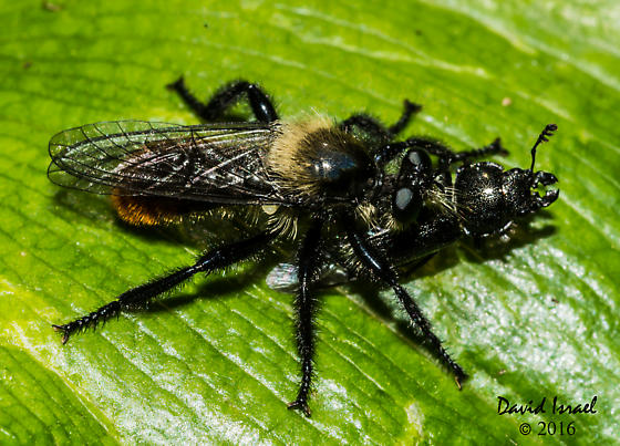 Robberfly with prey - Laphria janus