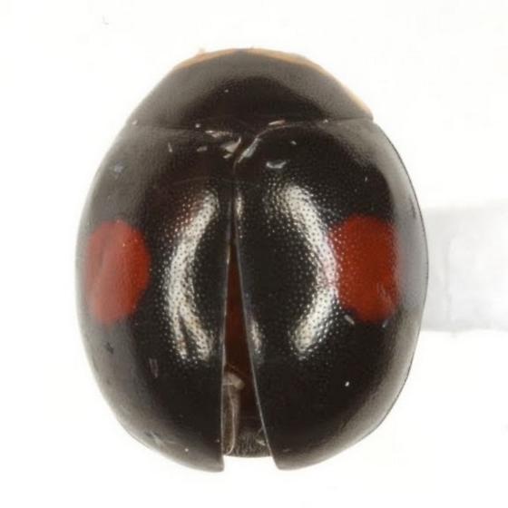 Hyperaspis signata bicentralis Casey - Hyperaspis signata