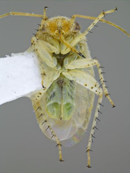 Megalopsallus sparsus - female