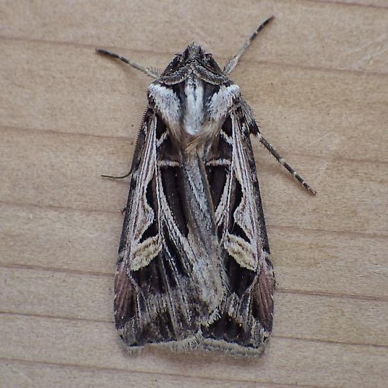 Noctuidae: Feltia jaculifera - Feltia jaculifera
