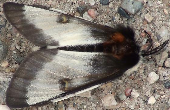 Saturniidae: Hemileuca nevadensis? - Hemileuca nevadensis - male