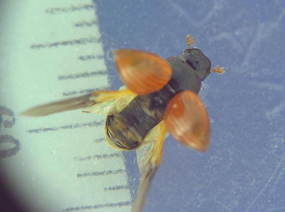 Moose dung beetle - Aphodius fimetarius