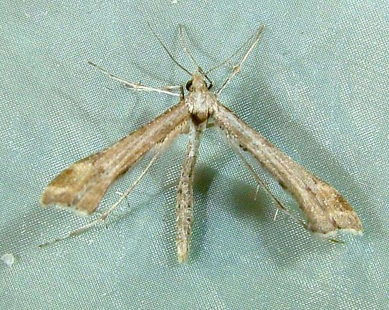 Platyptilia williamsii - Calendula Plume Moth 6112 - Platyptilia williamsii