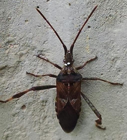 Kissing bug? - Leptoglossus occidentalis