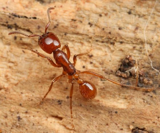 Army ant - Labidus coecus - female