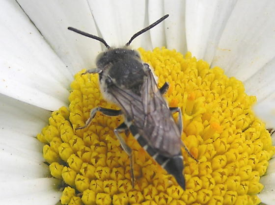 Needs a little identity - Coelioxys rufitarsis - female