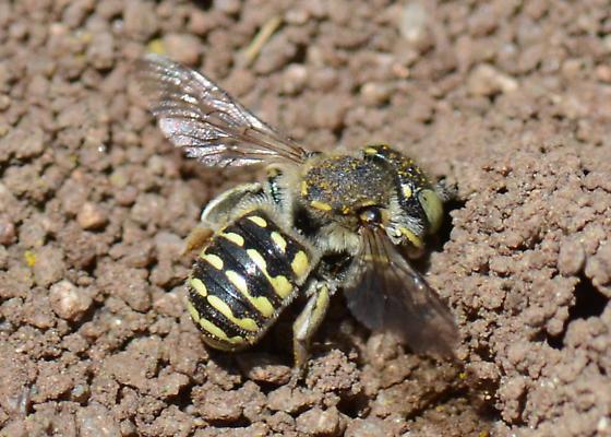 Bee associated with Diadasia bituberculata nest - Anthidium