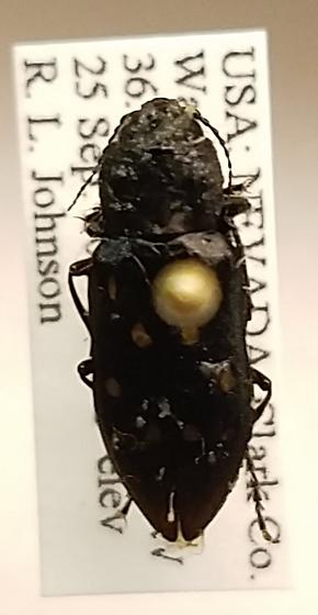 Melanophila consputa