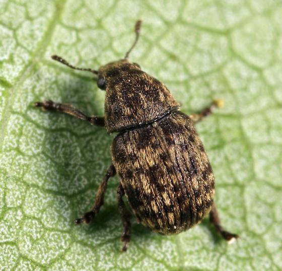 Anthribidae - Anthribus nebulosus