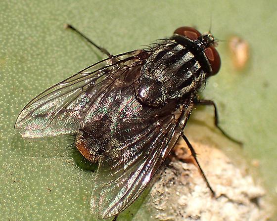 fly - Synthesiomyia nudiseta