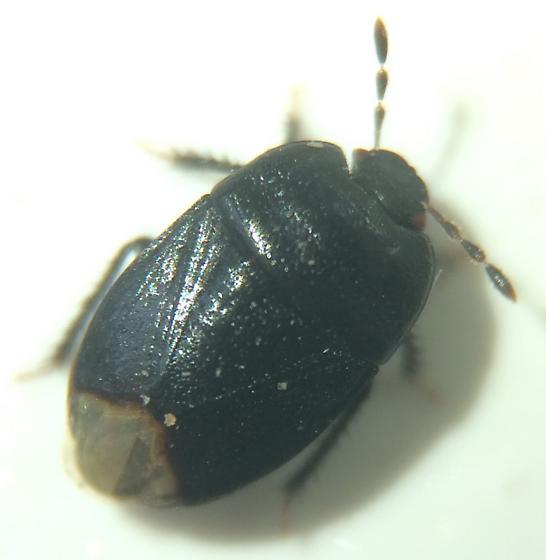 Cydnid - Melanaethus robustus
