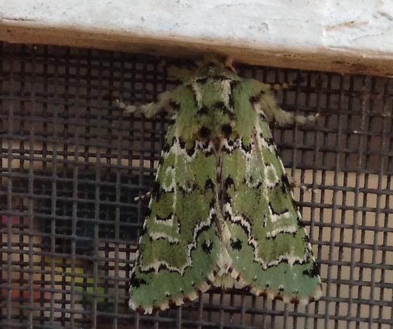 Strange Green Moth - Feralia jocosa