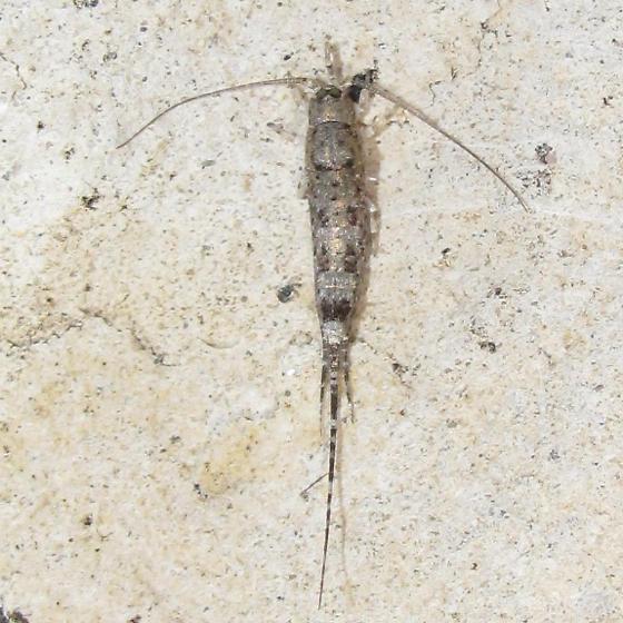 Hypomachiloides texanus?