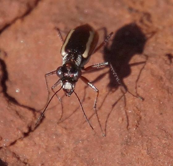beetle, lomg legs, purple - Parvindela lemniscata