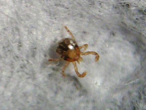Tick Larva - Amblyomma