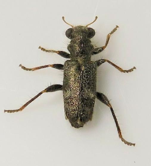 Phyllobaenus subfasciatus?