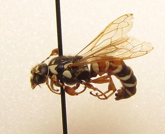basirufus? - Pseudomasaris basirufus - male