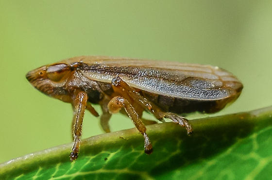 Neophilaenus lineatus? - Neophilaenus lineatus