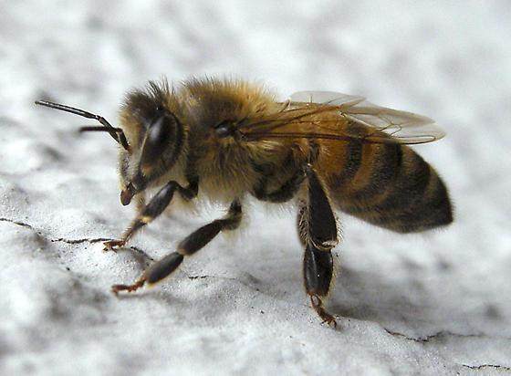 Bee on Stucco Wall - Apis mellifera