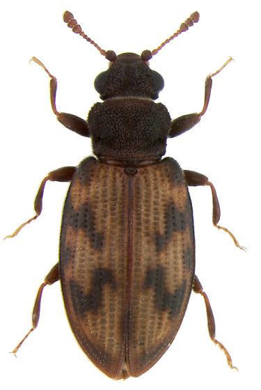 Enicmus maculatus Le Conte, 1878 - Enicmus maculatus