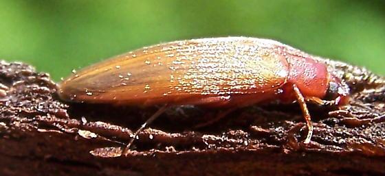Synchroa punctata