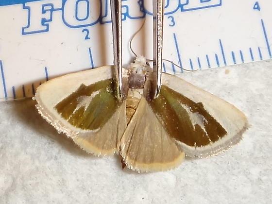 Golden Wing Moth - Neumoegenia poetica
