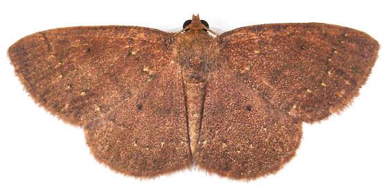 ?Black-dotted Ruddy Moth H#6711 - Ilexia intractata - male