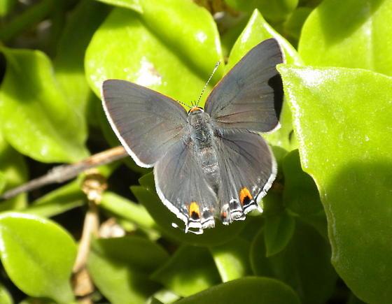 Eastern Tailed Blue - Want confirmation of ID - Strymon melinus - female