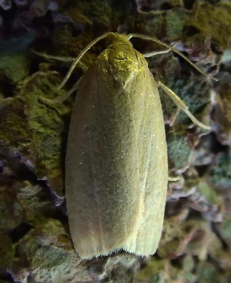 Tortricidae: Xenotemna pallorana? - Xenotemna pallorana