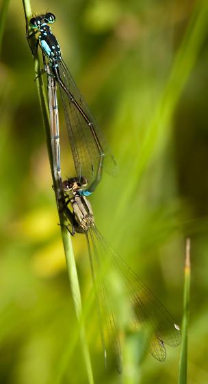 Pacific Forktail - Ischnura cervula - male - female