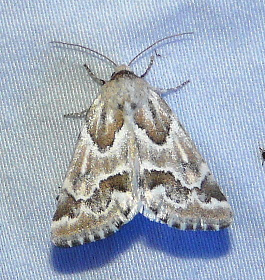 unidentified Schinia - Schinia acutilinea