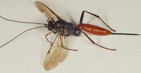 Unknown Hymenoptera - Cryptus albitarsis - female