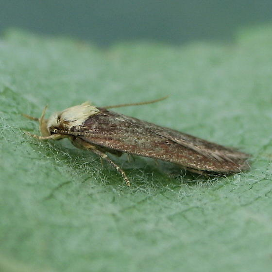 A Micro Moth - Depressaria depressana