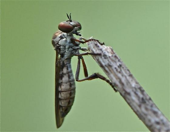 Fly - Holcocephala calva