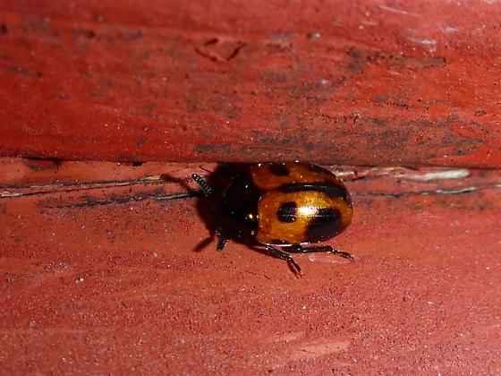 snazzy beetle - Diaperis maculata