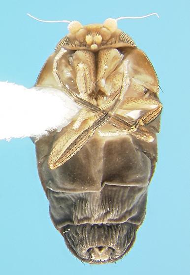 Wingless phorid - Aenigmatias - female