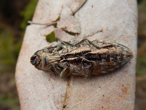 buprestidae - Chalcophora