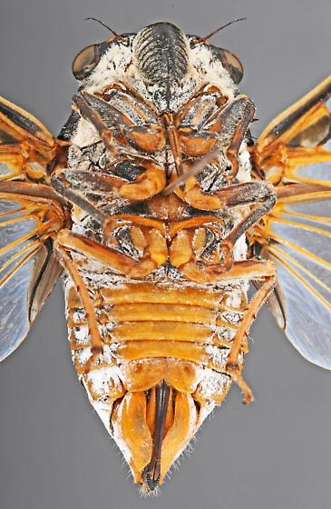 Cicada, female ventral - Hadoa townsendii - female