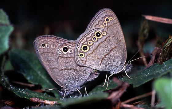 Carolina Satyrs, Mating - Hermeuptychia sosybius - male - female