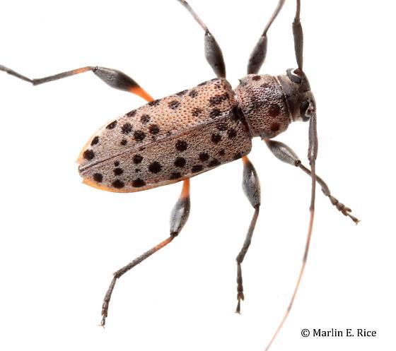 longhorned beetle - Hyperplatys aspersa
