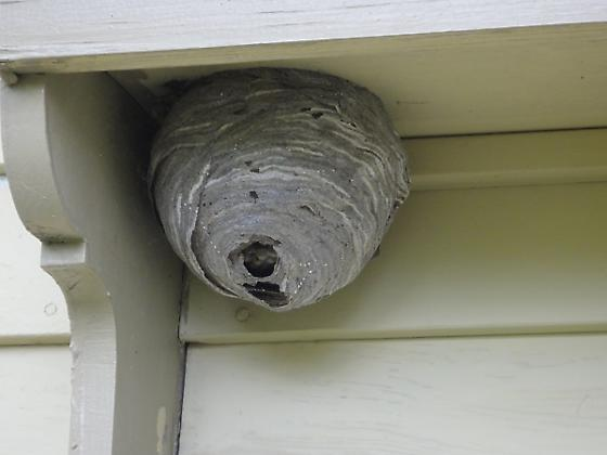 Wasp or bee nest - Dolichovespula